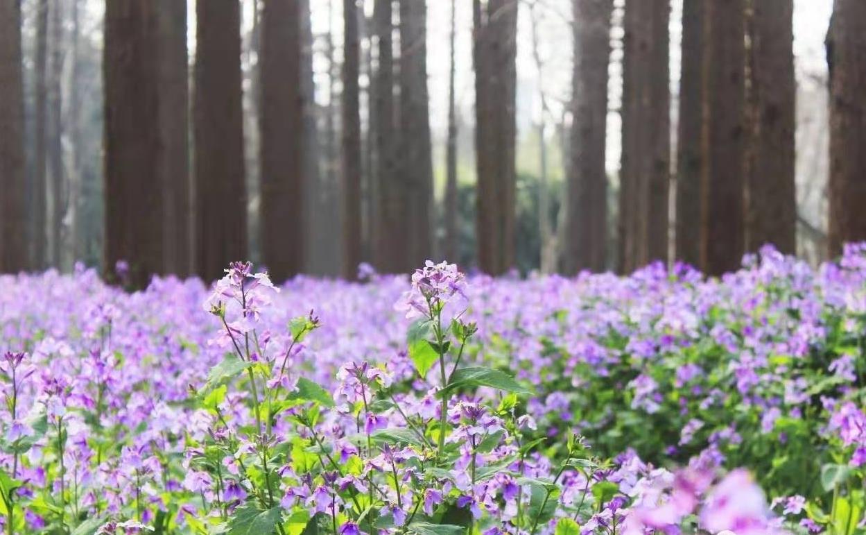 让紫金草将和平的种子广为传播,