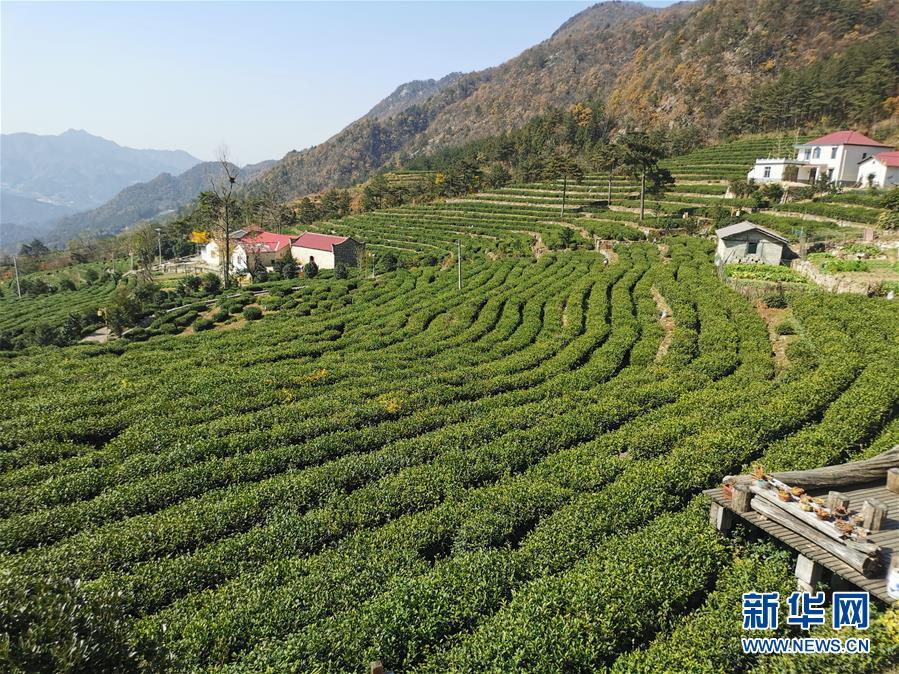 """咬定""""茶""""山不放松——安徽大别山区石佛村依托茶工业脱贫致富见识"""